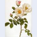 Rosa damascena rubrotincta