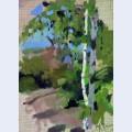Birch trees sunny day