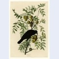 Plate american crow