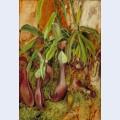 A bornean pitcher plant sarawak borneo