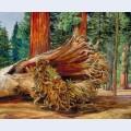 A fallen giant calaveras grove california