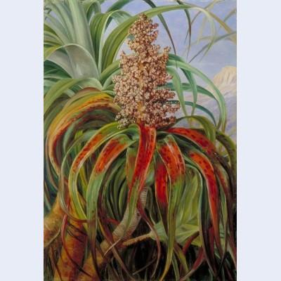 A new zealand dracophyllum